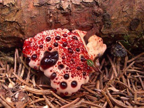 قارچ داندان خونالود