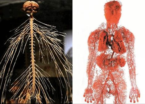 blood vessels and nervous sysytem