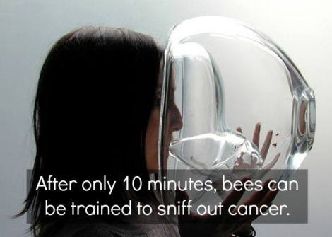 cancer-sniff bees