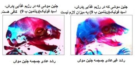 تفاوت جنین های موش