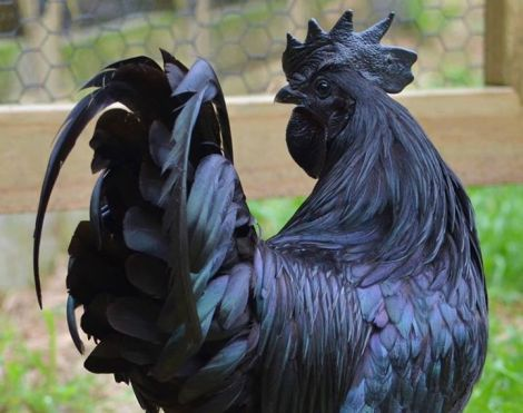 Ayam Cemani Chicken of Indonesia
