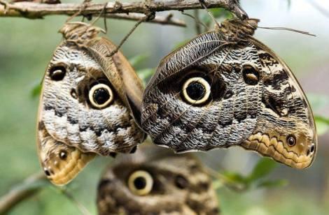 Owl Butterfly1