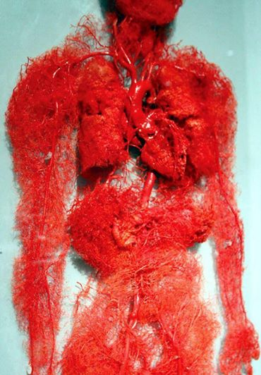 The blood vessels of the human body