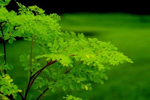 The-Many-Uses-of-the-Mighty-Moringa-Tree-Moringa-Leaf-300x200